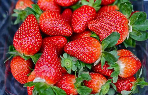 草莓施用有机肥的技术