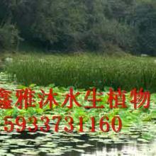 供应安庆香蒲种植,厂家在睡莲,荷花,芦苇,水葱,千屈菜,生态浮岛,水生鸢尾等批发