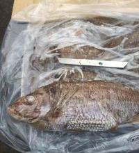供应新西兰银绸鱼