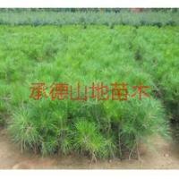供应周口油松苗批发;周口油松苗价格;周口油松苗基地;周口油松苗苗圃