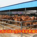 供应用于肉牛的西门塔尔牛犊最新价格