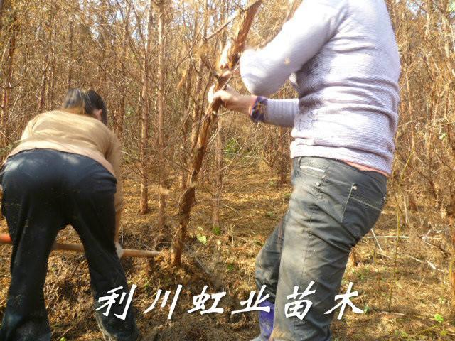 供应米径2-3公分水杉苗/湖北利川米径2-3公分水杉苗5万棵