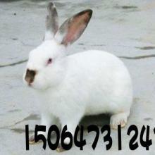 供应湖北省黄石肉兔养殖厂肉兔养殖技术肉兔种兔价格