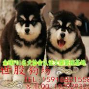 东莞哪里有纯种阿拉斯加犬出售图片