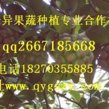 供应来自深山的水果种苗——布福娜(黑老虎)