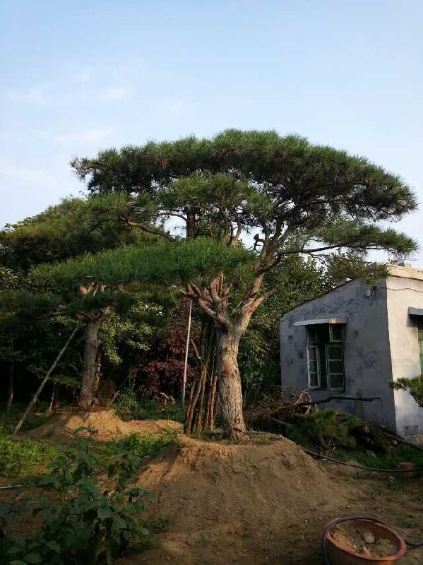 �}��_临沂造型油松-造型油松【园林绿化造型油松讅