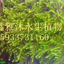 安新县轮叶黒藻种植厂家/荷花种植/生态浮岛制作/睡莲种植/芦苇种植/千屈菜种植/盆栽荷花价格批发