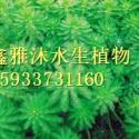 安新县水草种植价格图片