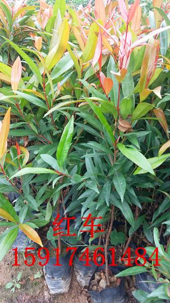供应红车苗批发,广州市红车批量出售,红车市场报价,大量红车小苗出售。