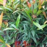 供应红车苗木批发,广州市红车苗木低价批发出售,红车简介,批发红车苗木