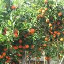 超甜柑桔新品---东方红桔图片