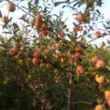 供应陕西大荔花冠苹果