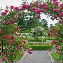 供應藤本植物對城市園林景觀設計的用處批發