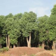 移植香樟原生香樟树多杆香樟图片
