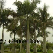 供应棕榈类大王椰子价格,棕榈类大王椰子供应商