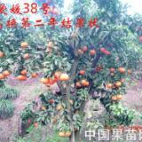 供应江西爱媛38号,江西爱媛38号桂林 供应商