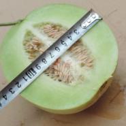 高档薄皮甜瓜种子中原银香图片