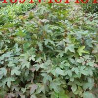 供应广州枫香苗木,广州优惠出售枫香苗木及其他绿化种苗 造林苗,枫香价