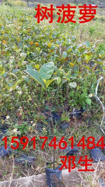 供应南方树菠萝实惠价,南方树菠萝小苗批发价格,南方树菠萝种苗供应报价