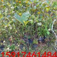 供应树菠萝苗木批发商,树菠萝便宜报价,树菠萝苗供应商,树菠萝种苗价格
