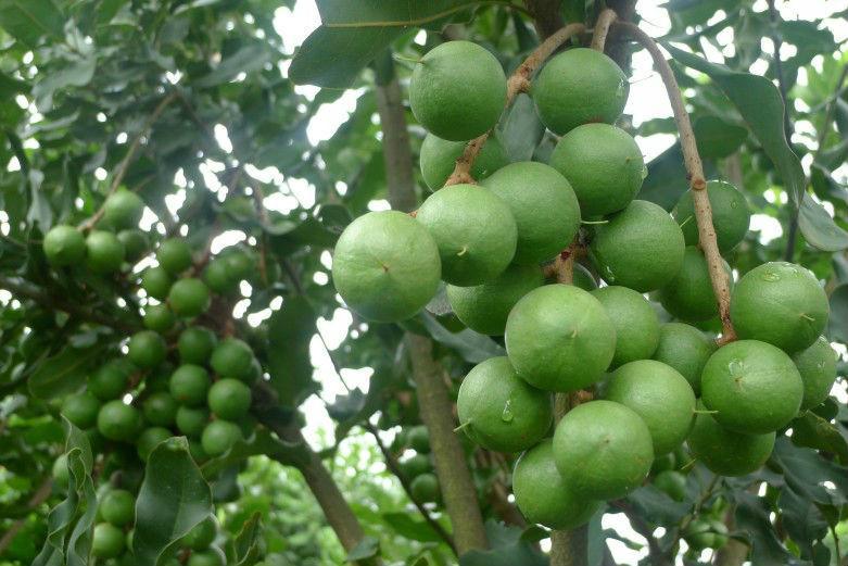 供应全球坚果苗 广西桂热坚果苗 欧洲坚果苗 澳洲坚果苗 夏威夷果苗