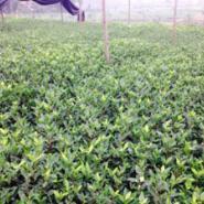 供应黄金芽茶叶苗哪里有卖,黄金芽茶苗
