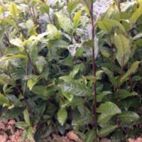 供应优质名选131茶苗雅安四海出售,优质茶苗,价格优惠
