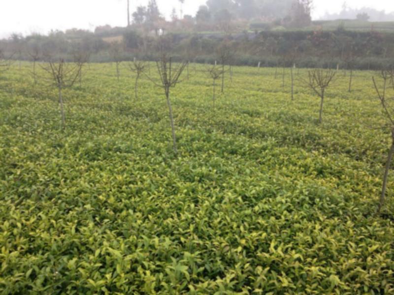 供应名选131茶苗首选雅安四海茶苗基地,优质名选131茶苗采摘出售