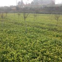 供应名选131茶苗四川四海茶苗繁育基地,最优质的名选131茶苗供应