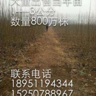 安徽107杨树苗图片
