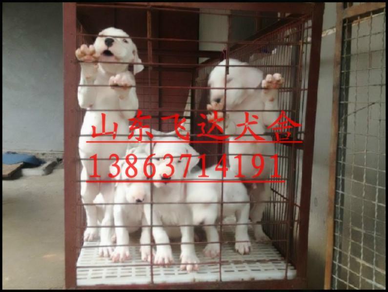 杜高犬价格销售