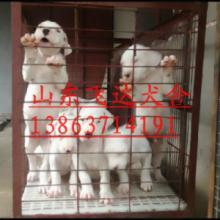 供应杜高犬价格,哪里有杜高犬卖,杜高幼犬价格图片