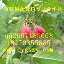 供应柳形叶形水果种苗相思果