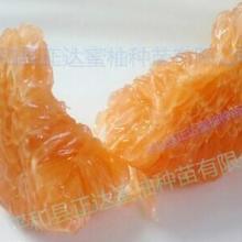 供应金橘蜜柚苗黄肉蜜柚苗橙肉柚子苗黄金蜜柚苗图片