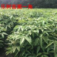 珍稀观赏植物钟萼木小苗图片