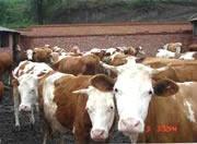 安格斯牛供应图片