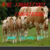 供应西门塔尔牛母牛价格
