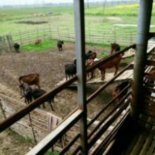 供应山羊种羊,优质黑山羊,养羊风险大吗批发