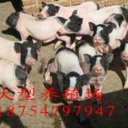 石家庄附近香猪养殖巴马香猪饲料图片