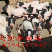供应玉溪香猪巴马香猪养殖成本