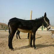 衡水的驴价格图片
