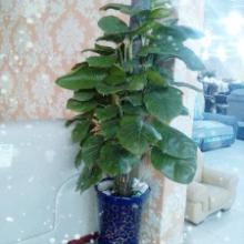 供应成都植物花卉植物租赁哪家便宜?