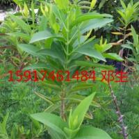 供应南方檀香优质苗,檀香树苗供应商,檀香袋苗批发价,檀香树苗便宜报价