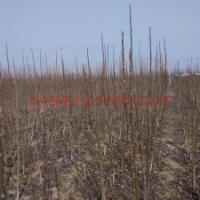 供应大规格核桃苗、山东哪里有大规格核桃树、地径2公分核桃小苗基地