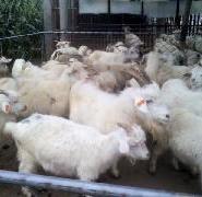 纯种白山羊价格最低图片