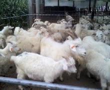 供应纯种白山羊价格最低养殖技术