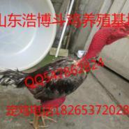 江苏纯种越南斗鸡泰国斗鸡养殖场图片