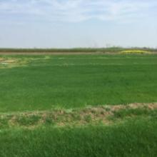 供应句容地区大量供应精品混播黑麦草批发