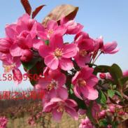限供冬红果文冠果海棠图片