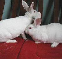 供应邯郸成安优良獭兔兔邯郸成安獭兔养兔场邯郸成安獭兔6-7个月龄